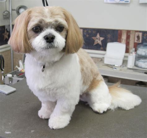 shih poo puppies haircuts shih tzu grooming style photos wow com image results
