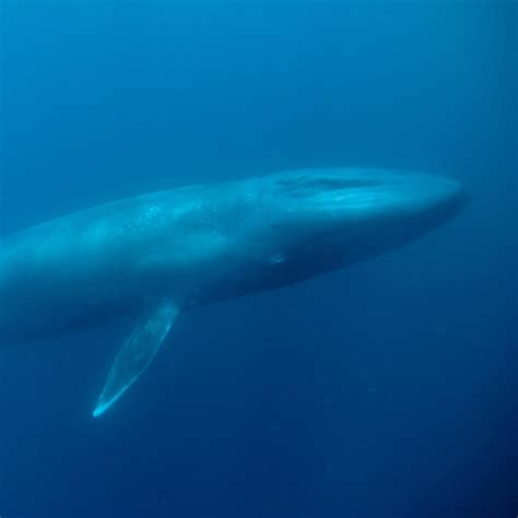 Who Sings For Blues How Blue Whales Became Ingredients In - blue whale national geographic