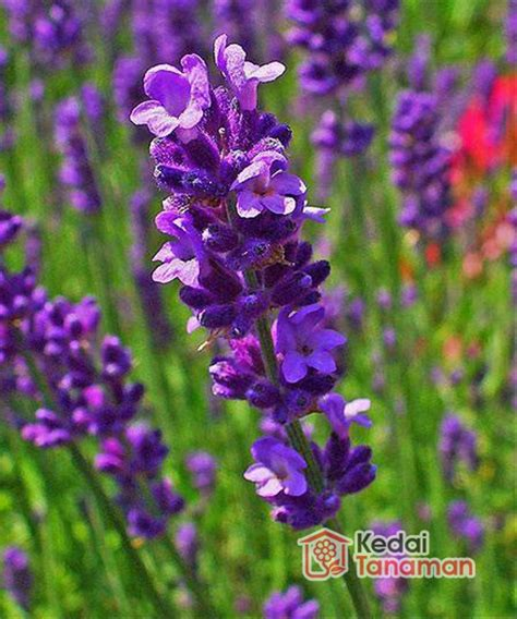 jual tanaman hias bunga lavender ungu  lapak