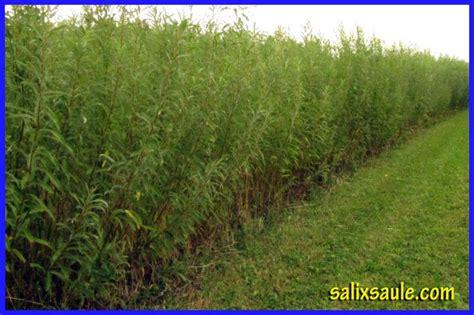 saule arbustif  croissance rapide plantes engrais  terreaux saint jean sur richelieu
