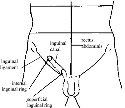 diagram of inguinal hernia anatomy organ location anatomy free engine image for