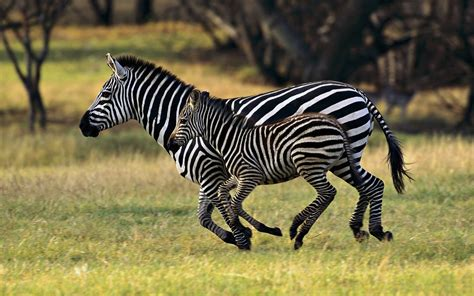 google wallpaper zebra zebra tapeta and tło 1680x1050 id 325866