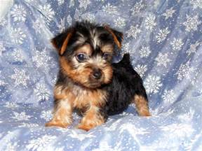 Small Dogs Free To Home Barnsley Australian Silky Terrier