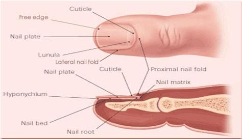 nail bed definition nail matrix location function damage and disorders