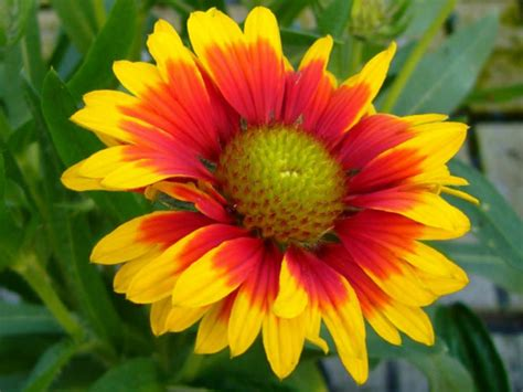 image for flowers gaillardia aristata common blanket flower world of