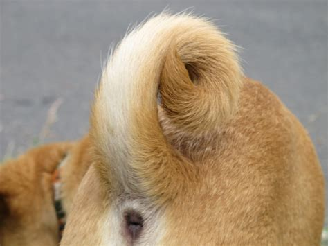 breeds with curly tails your puppy