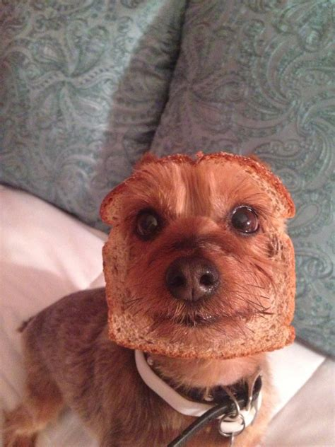 bread yorkie this is obviously bread huffpost