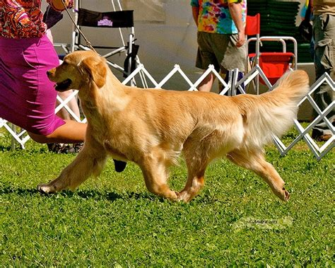 golden retrievers maine 1000 images about golden retriever on