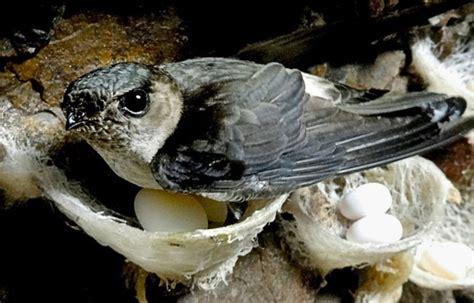 Pakan Ternak Walet burung walet hewan id