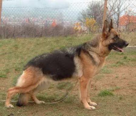 brown german shepherd puppy 20 beautiful black and brown german shepherd images
