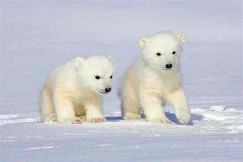 oso polar oso polar oso polar superdepredador que sobrevive a pesar del mal tiempo
