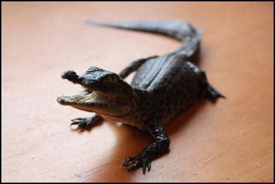Crocodile Sport Ori New Arrival crocodile cuties born at butterfly creek scoop news