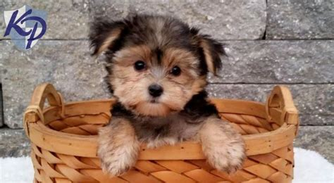 morkie puppies for sale 1000 images about morkie puppies on morkie