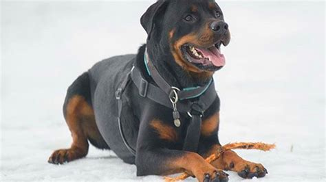 rottweiler losing weight rottweiler dogs rottweiler breed info pictures petmd