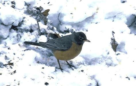 best 28 do robins migrate south in the winter spring