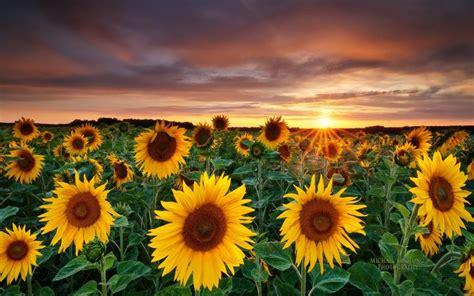 hd sunflower field wallpaper
