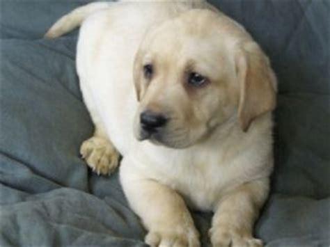 labrador puppies for sale in ct area labrador retriever puppies in alaska