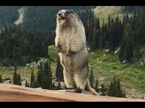 The Screaming the screaming marmot remix