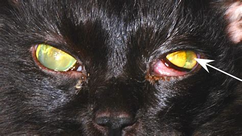 anisocoria in dogs image gallery anisocoria clinician s brief