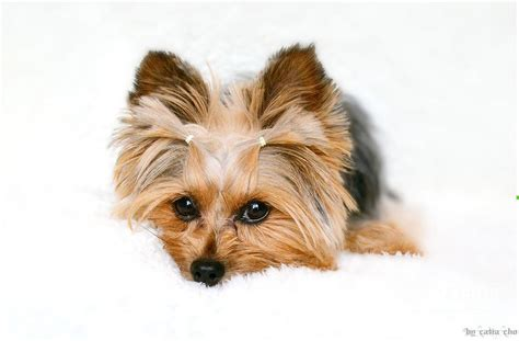 all white yorkie white yorkie by catia cho