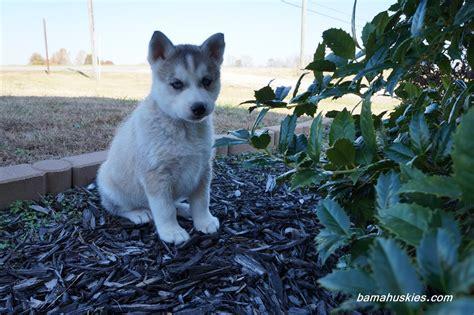 home husky husky puppy aubie went home today 171 siberian husky puppies