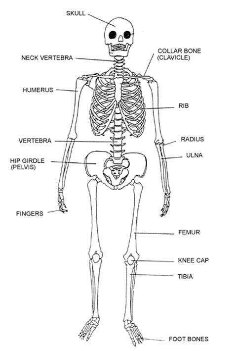 detailed skeletal system diagram learning discovery lesson 3