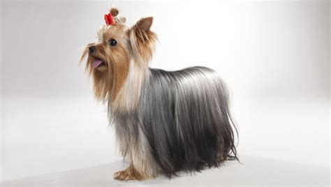 yorkie breed terrier breed selector animal planet