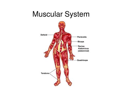 Simple Diagram Of The Muscular System