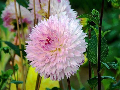 fiori dalia dalia fiore perenni pianta dalia