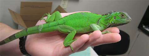 green iguana pet www imgkid com the image kid has it