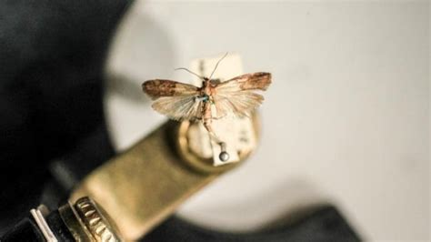 Pantry Moths Australia by Warm And Conditions Bring Moths To Sydney S Pantries