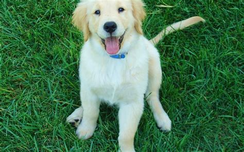 why do golden retrievers get cancer why do dogs seizures while sleeping canna pet