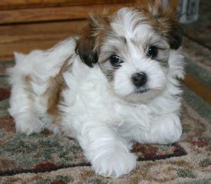 www havanese org hca education for puppy buyers havanese club of america