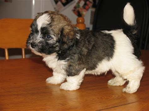 havanese puppies for sale alberta puppy pets alberta