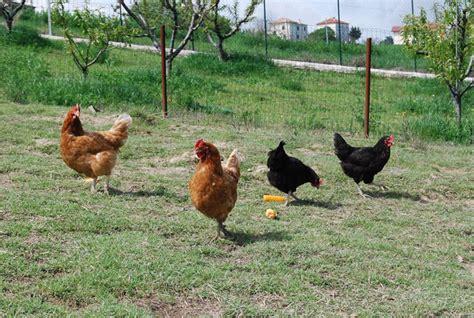 versi di animali da cortile fattoria marchetti agriturismo nelle marche azienda