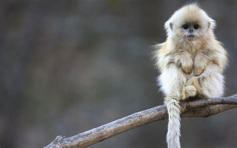 monkey wallpaper monkey wallpapers hd pictures one hd wallpaper pictures