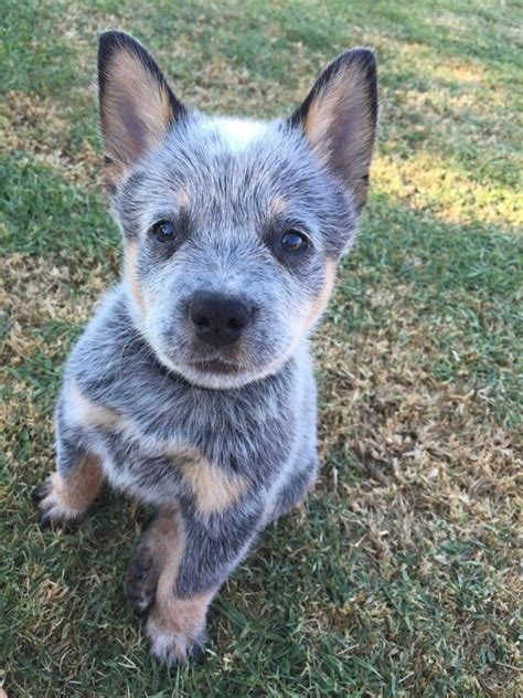 blue heeler dogs blue heeler puppy aww