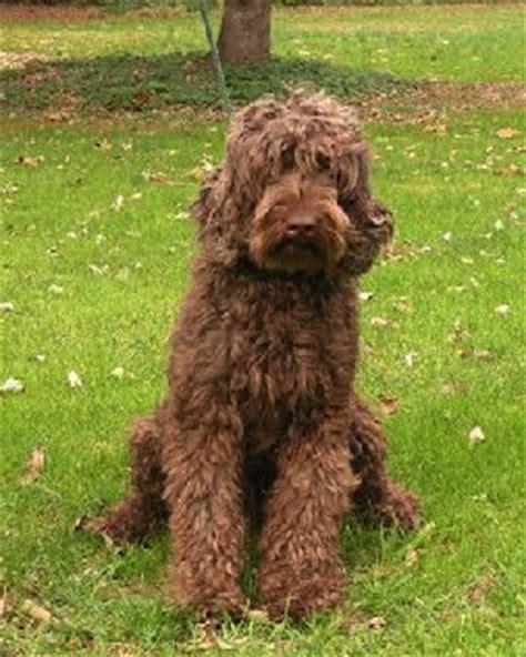 mini labradoodles edmonton labradoodle puppies for sale uk f1b labradoodle pups trait
