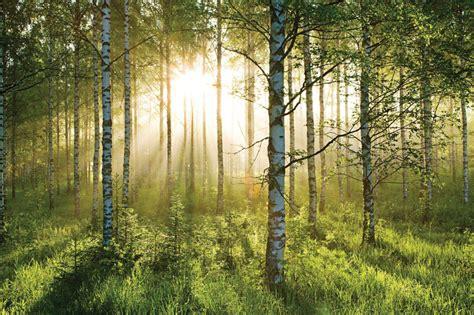 fotos auf tapete kleben birkenwald foto tapete 232x315 foto tapeten 232x315