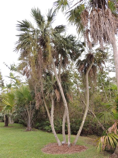 Tropical Botanical Garden Miami Plantfiles Pictures Cuban Palm Copernicia Glabrescens