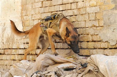 army dogs 17 photos that show the bravery of working dogs