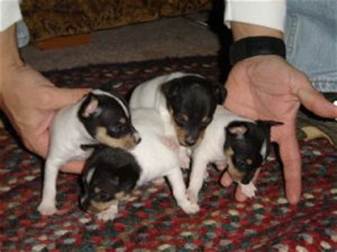 smooth fox terrier puppies for sale fox terrier smooth puppies for sale