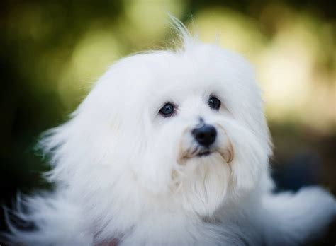 coton de tulear puppy coton de tulear puppy for sale by royalcoton doncaster south pets4homes