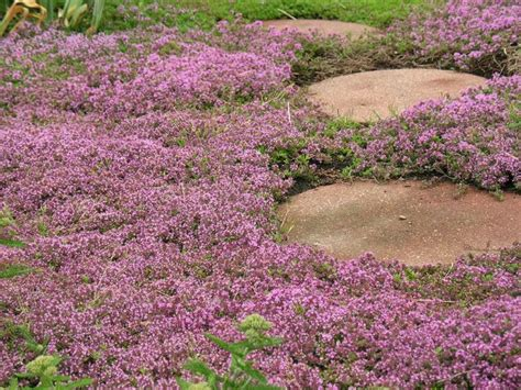 Bibit Benih Seeds Creeping Thyme For Ground Cover creeping thyme sweet n low by live mulch thyme groundcover live mulch groovy ground