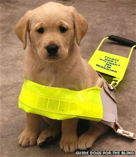guide dogs for the blind how can blind people stay safe bbc news