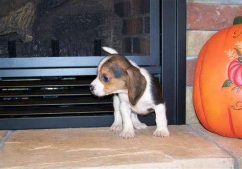 beagle puppies for sale in arkansas dogs vista ar free classified ads
