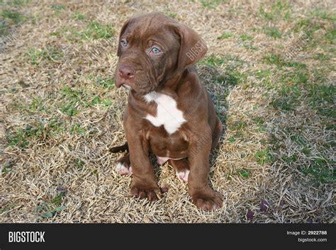 chocolate pitbull puppies chocolate white pit bull puppy stock photo stock images bigstock