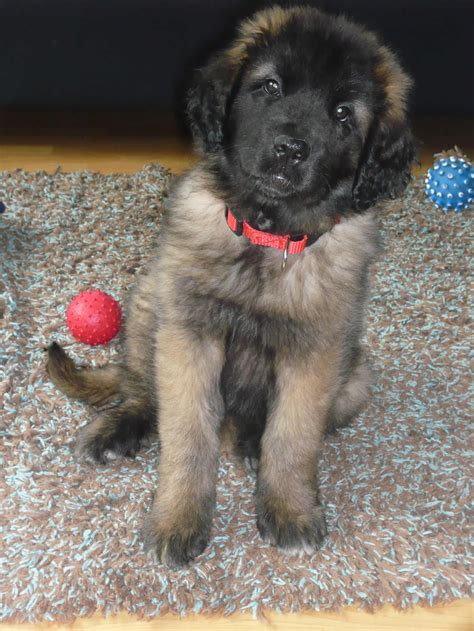 leonberger puppies cost leonberger information breeds at thepetowners