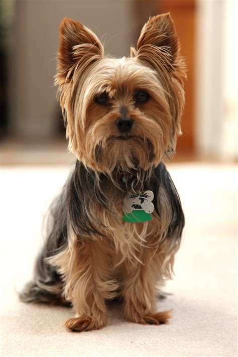 haircuts for yorkshire terriers with silky hair 158 best images about cutest yorkies on pinterest puppys