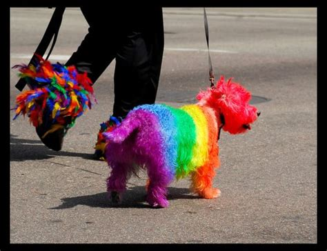 rainbow dogs and i thought it was that i cut my bichons hair into a mohawk and dye it